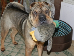 Fiona, chien Shar Pei