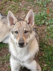 Fiona, chien Chien-loup tchèque