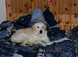 Fiona, chien Golden Retriever