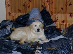 Fiona, chien Golden Retriever