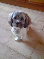 Fiona, chien Lhassa Apso