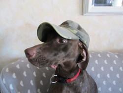 Fiona , chien Braque allemand à poil court