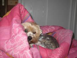 Fiona, chien Yorkshire Terrier