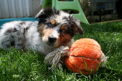 Fiona, chien Berger australien