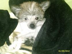 Fiona, chien Chien chinois à crête