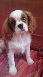 Fiona, chien Cavalier King Charles Spaniel