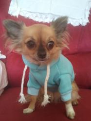 Fiona, chien Chihuahua