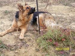 Fiona, chien Berger allemand