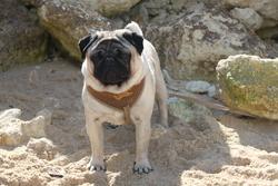Fiorellino Fedro24, chien Carlin