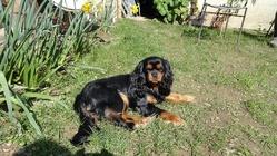 Fiorine, chien Cavalier King Charles Spaniel