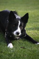 Fipsie, chien Border Collie