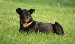 Firenze, chien Beauceron
