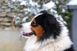 First , chien Berger australien