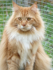 First, chat Maine Coon