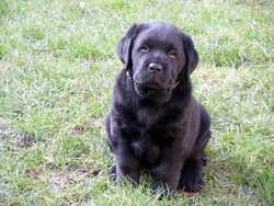 First, chien Labrador Retriever