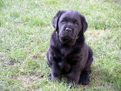 First, chien Labrador Retriever