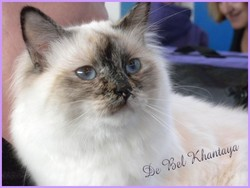 First Akemi De Bel Khantaya, chat Birman