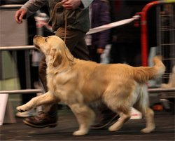 First, chien Golden Retriever