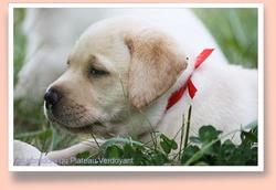 First Lady Du Plateau Verdoyant, chien Labrador Retriever