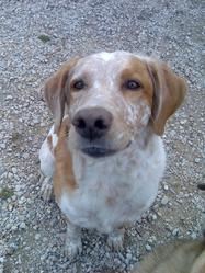 First Perdu, chien Épagneul breton