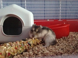 Firsty, rongeur Hamster