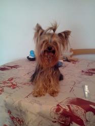 Firuss, chien Yorkshire Terrier