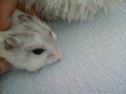 Fishta, rongeur Hamster