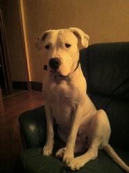 Fiska, chien Dogue argentin