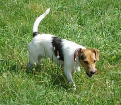 Fiska, chien Jack Russell Terrier