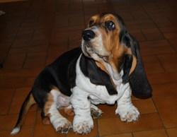 Fistoul, chien Basset Hound