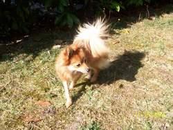 Fitness, chien Spitz allemand