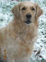 Five, chien Golden Retriever