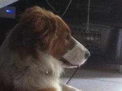 Fizia, chien Border Collie