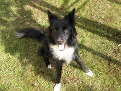 Fizz, chien Border Collie