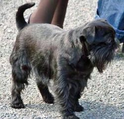 Fizz, chien Griffon belge