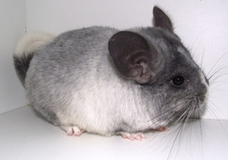 Fizz, rongeur Chinchilla