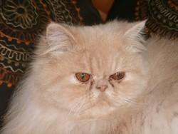 Darsy, chat Persan