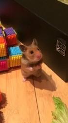 Fleche, rongeur Hamster