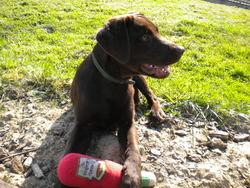 Flacky, chien Labrador Retriever