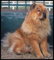 Flacky, chien Chow-Chow