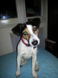 Flag, chien Jack Russell Terrier