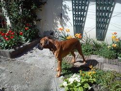 Flag, chien Boxer