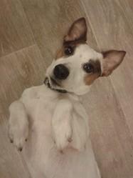 Flak, chien Parson Russell Terrier