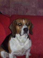 Flaky, chien Beagle