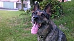 Flam, chien Berger allemand