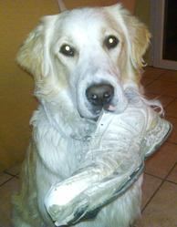 Flambi, chien Golden Retriever