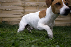 Flamby, chien Parson Russell Terrier