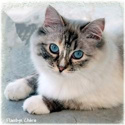 Flamby-Chérie, chat Ragdoll