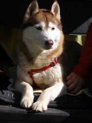 Flame, chien Husky sibérien