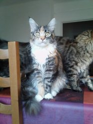 Flamme, chat Maine Coon
